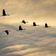 Sandhill Cranes in Flight in Front of Iridescent Clouds